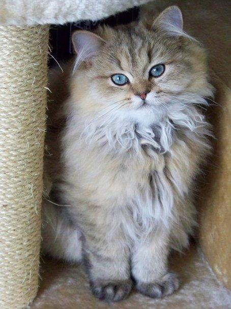 Il Gatto Persiano Dibloc